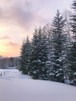 Group of frosty spruce trees