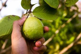 Hand picking guava fruit from a tree