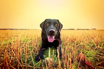 Happy black labrador.