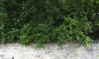 Hedge bush wall