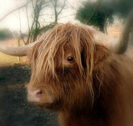 Highland Cow , animal