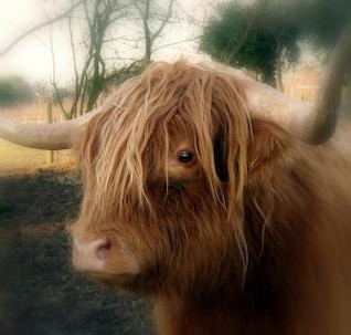 Highland Cow , animal