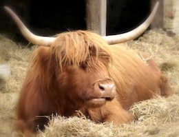 Highland Cow, farmanimal