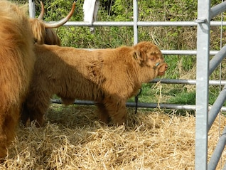 highland show scotland cattle