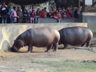 hippopotamus at alipur zoo