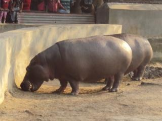 Hippopotamus at alipur zoological garden