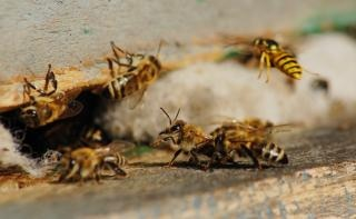 Honey bees, flying
