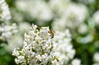ハニーミツバチ