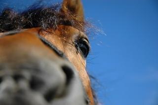 Horse, blue