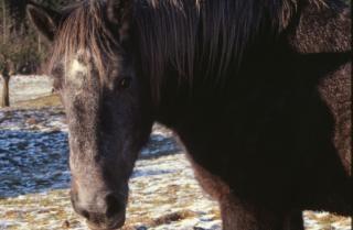 horse  farm  pony