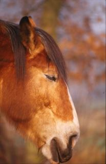 Horse, fur, hair