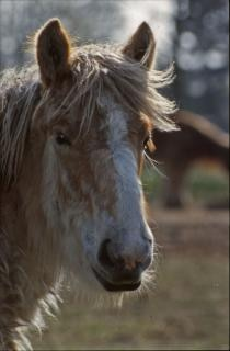 Horse, fur