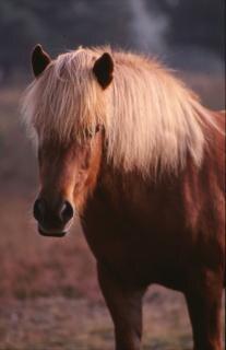 Horse, stallion, animal
