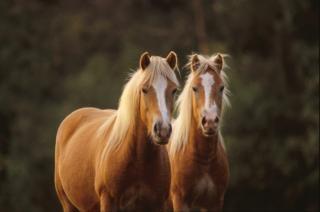 horses  horse