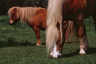 Horses, pony, stallion, horse