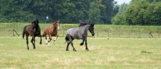 Horses in the Netherlands, foal