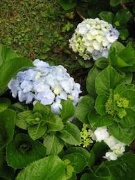 Hortencias, flores