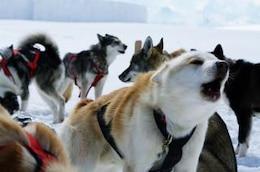 Huskies, sled