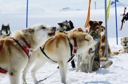 Huskies at mountain, experience