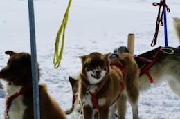 Huskies at mountain, huskies