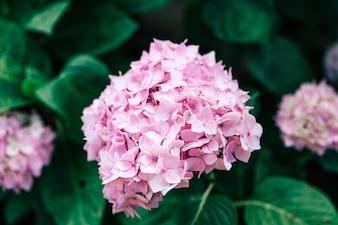 Hydrangea flower closeup