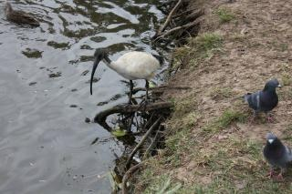 ibis and birds