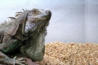 Iguana, animal