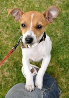 Jack russel puppy jumping
