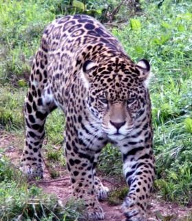 Jaguar  wild  cat