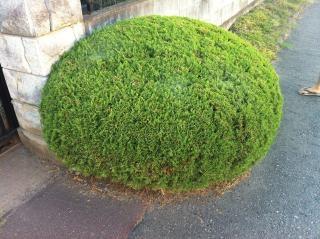 japanese bush