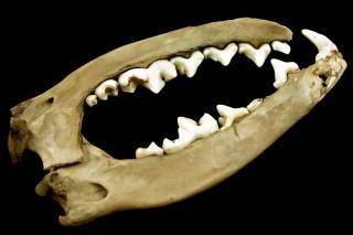 Jaws, animal