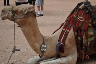 Jordanian camel