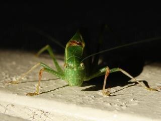 Katydid, grasshopper