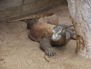 Komodo dragon, reptile