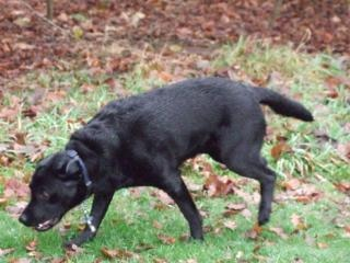 Labrador, retriever