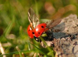 Ladybug, black
