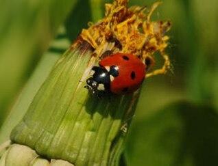 Ladybug, flowers