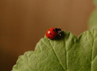 Ladybug, macro