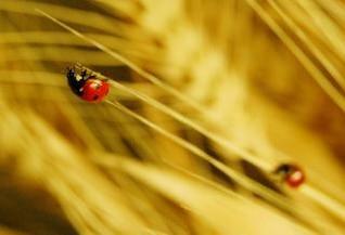 Ladybug, spread