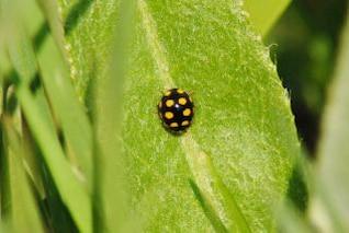 Ladybug, textile, black
