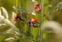 Ladybug, textile