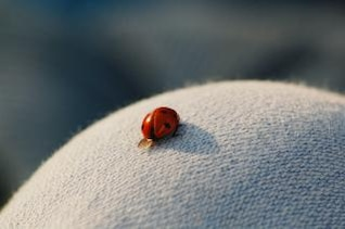 Ladybug, wings