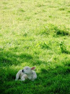 lamb in meadow