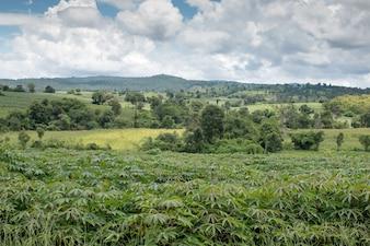 Landscape of Cassava plant on fieid top agricuture in northern Thailand