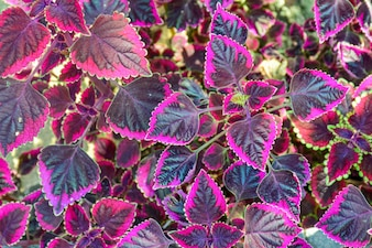 Leaves with purple border