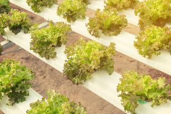 灌漑における水と肥料を用いた水耕システムでのレタス栽培。