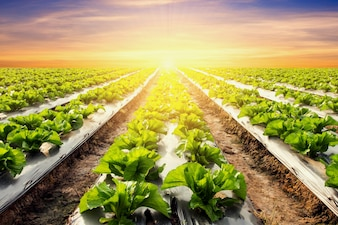 Lettuce plant on field vegetable and agriculture sunset and light.
