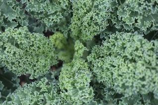Lettuce plant texture