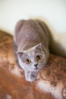 Light grey portrait shorthair beautiful