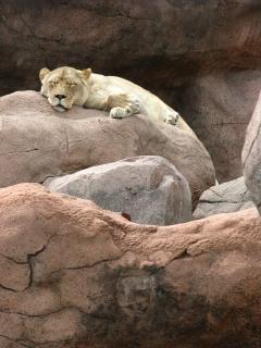 Lioness, cliffs